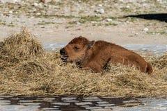 Amerikanischer B?ffel bekannt als Bison, Bosbison im Zoo stockbilder
