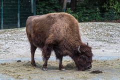 Amerikanischer B?ffel bekannt als Bison, Bosbison im Zoo lizenzfreie stockfotos