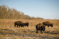 Amerikanischer Bison stockbilder