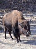 Amerikanischer Bison Lizenzfreies Stockbild