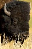 Amerikanischer Bison Stockfotos