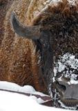 Amerikanischer Bison Stockbild