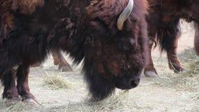 Amerikanischer Bison stock video footage