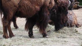 Amerikanischer Bison stock footage