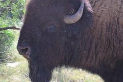 Amerikanischer Bison stockfotografie
