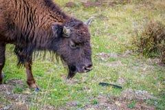 Amerikanischer Bison auf dem Gebiet von Yellowstone Nationalpark, Wyoming stockbild