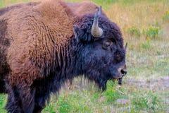 Amerikanischer Bison auf dem Gebiet von Yellowstone Nationalpark, Wyoming stockfoto