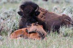 Amerikanischer Bison, Bisonbison Lizenzfreie Stockfotos