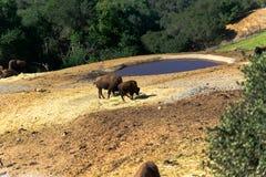 Amerikanischer Bison in der Wiese lizenzfreie stockbilder
