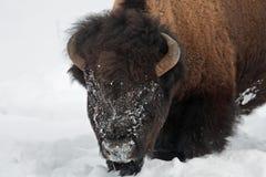 Amerikanischer Bison im Schnee Stockbilder