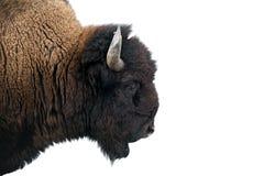 Amerikanischer Bison in Nationalpark stockbild