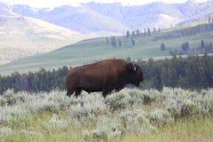 Amerikanischer Bison oder Büffel Lizenzfreie Stockbilder