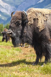 Amerikanischer Bison oder Büffel Stockbilder