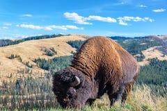 Amerikanischer Bison und Landschaft Stockbilder