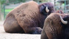 Amerikanischer Bison Verbreitungsgebiet: ursprüngliche nordamerikanische Strecke verlängerte von Nord-Mexiko nach Alaska stock footage