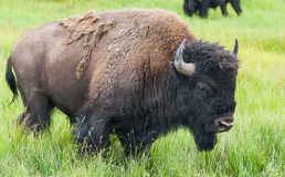 Amerikanischer Bison in Yellowstone Nationalpark Lizenzfreie Stockfotos