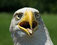 Amerikanischer blad Adler Lizenzfreie Stockfotografie