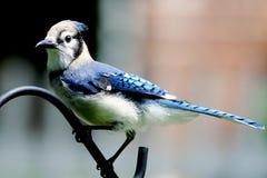 Amerikanischer blauer Jay Lizenzfreies Stockfoto