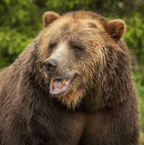 Amerikanischer Braunbär Lizenzfreie Stockbilder