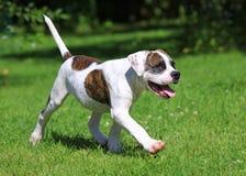 Amerikanischer Bulldoggenwelpenbetrieb Lizenzfreies Stockbild