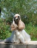 Amerikanischer Cockerspaniel, der lustiges Gesicht bildet lizenzfreies stockfoto