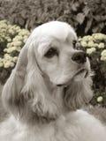 Amerikanischer Cockerspaniel-Kopfschuß stockfoto