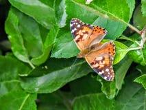 Amerikanischer Distelfalter oder amerikanisches Dame Vanessa virginiensis auf Apfelbaum verlässt stockbilder
