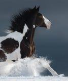 Amerikanischer Farbenpferdebetriebsgalopp über einem schneebedeckten Feld des Winters Stockbild