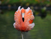 Amerikanischer Flamingo Stockfotografie