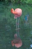 Amerikanischer Flamingo Lizenzfreies Stockfoto