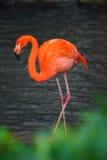 Amerikanischer Flamingo Stockbilder