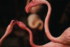 Amerikanischer Flamingo ist ein großer watender Vogel mit rötlichem rosa pluma stockfotos