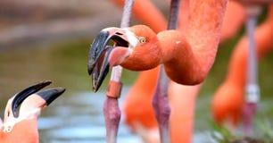 Amerikanischer Flamingo, Orange/Rosagefieder, Oklahoma- Cityzoo und botanischer Garten lizenzfreie stockbilder