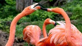 Amerikanischer Flamingo, Orange/Rosagefieder, Oklahoma- Cityzoo und botanischer Garten stockfotos