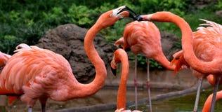 Amerikanischer Flamingo, Orange/Rosagefieder, Oklahoma- Cityzoo und botanischer Garten lizenzfreie stockfotografie