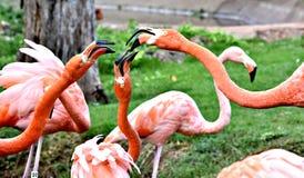 Amerikanischer Flamingo, Orange/Rosagefieder, Oklahoma- Cityzoo und botanischer Garten lizenzfreie stockfotos