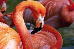 Amerikanischer Flamingo - Phoenicopterus-ruber Lizenzfreies Stockbild