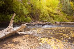 Amerikanischer Gabel-Schluchtbaum Lizenzfreies Stockfoto