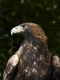 Amerikanischer goldener Adler Stockfotografie