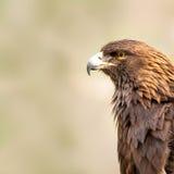 Amerikanischer goldener Adler Stockfoto