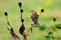 Amerikanischer Goldfinch in änderndem Gefieder Lizenzfreie Stockfotos