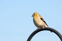 Amerikanischer Goldfinch. stockfoto