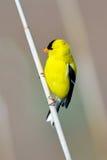 Amerikanischer Goldfinch stockbilder