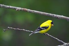 Amerikanischer Goldfinch Lizenzfreie Stockbilder