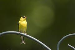 Amerikanischer Goldfinch auf einer Stange stockfoto