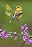 Amerikanischer Goldfinch auf Redbud Stockfotos