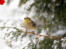 Amerikanischer Goldfinch in einem Schneesturm. Lizenzfreie Stockfotos