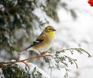Amerikanischer Goldfinch in einem Schneesturm. Stockfotografie