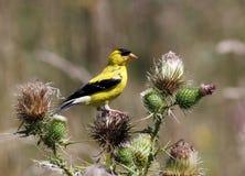 Amerikanischer Goldfinch (Spinus tristis) auf Distel Lizenzfreies Stockfoto