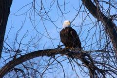 Amerikanischer kahler Adler Lizenzfreie Stockfotografie